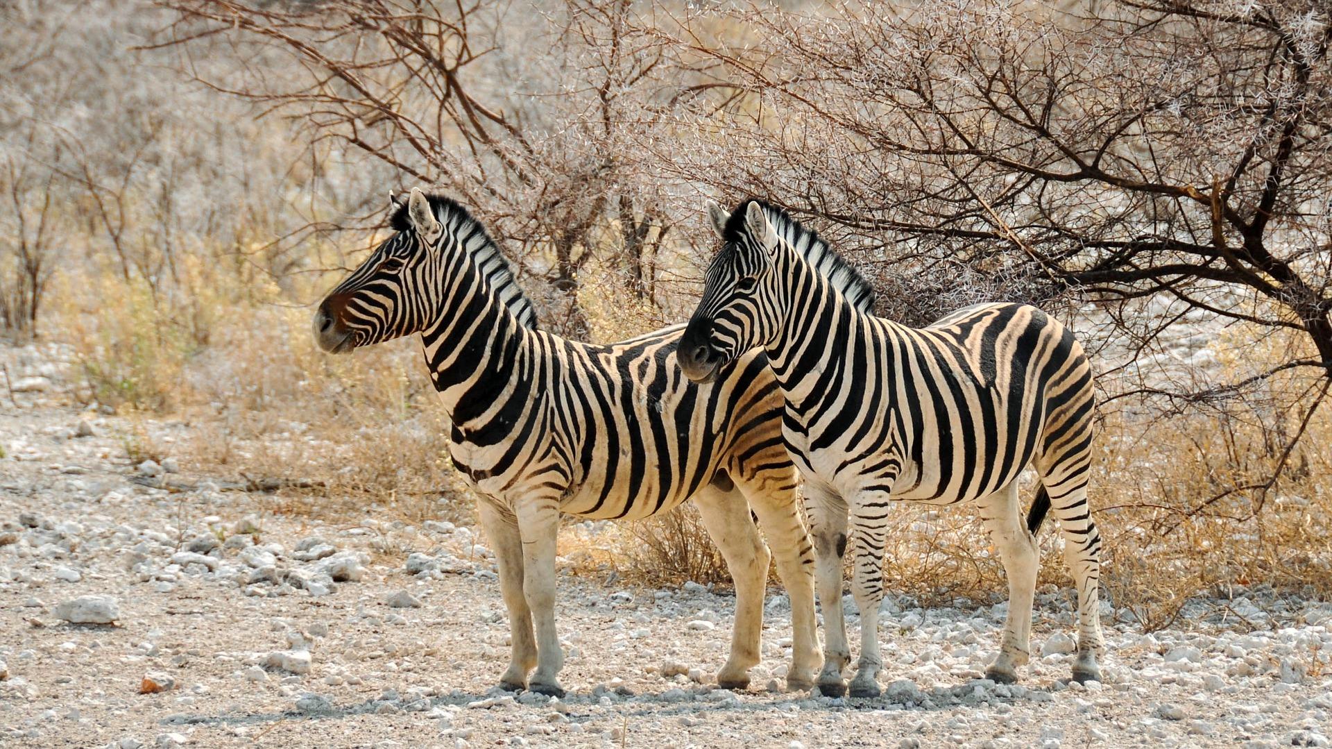 zebra-1170156_1920.jpg
