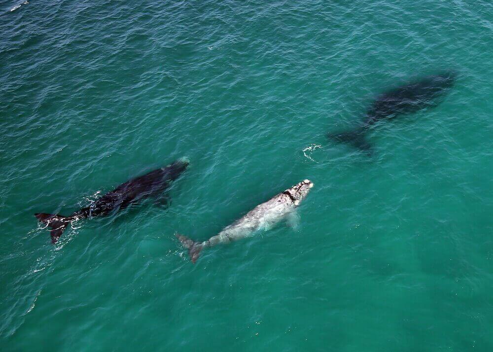 De-Hoop-Aerial-whales2-1.jpg