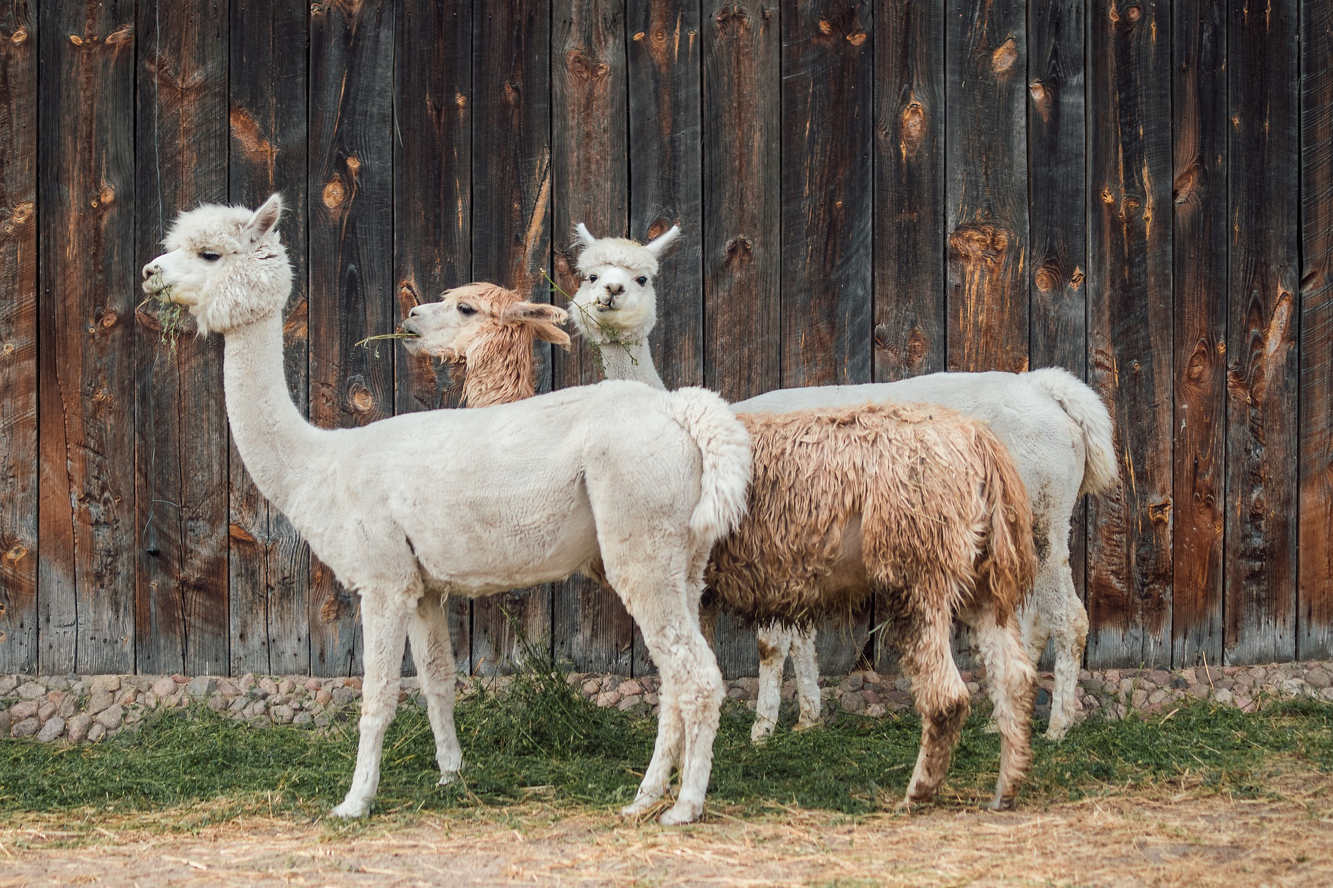 alpaca-4357188_1920.jpg